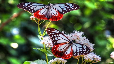 Butterfly Wallpapers, Pictures, Images