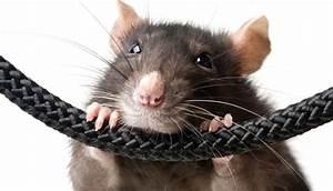 Was Fressen Ratten : ratten und m useern hrung das futterhaus ~ One.caynefoto.club Haus und Dekorationen