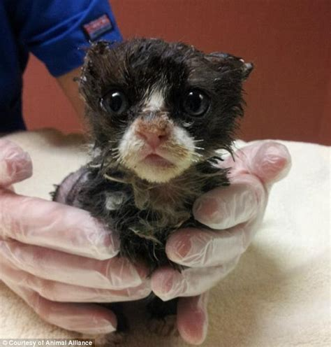 Meet Justin The Burned  Ee  Kitten Ee   Doused With Petrol Set