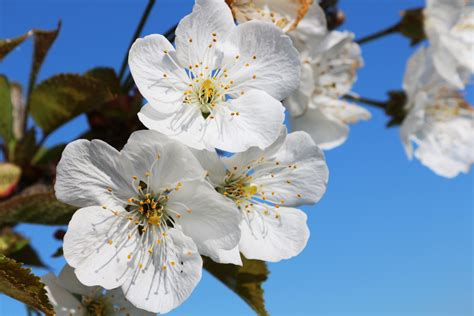 Free Images : tree nature branch sky white fruit