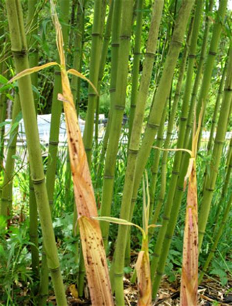 A Bamboo Shoot Is 20 Inches Phyllostachys Angusta