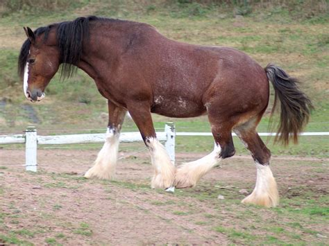 clydesdale horse horses clydesdales wikipedia tall breed breeds scotland mare draught