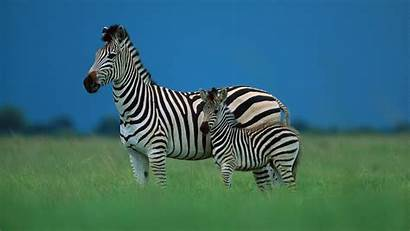 Zebra Animal Animals Wallpapers