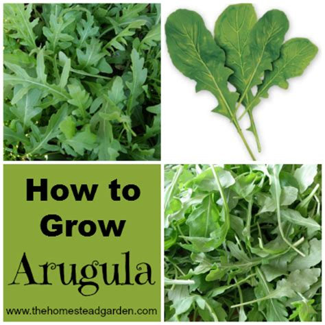 how to grow a garden how to grow arugula the homestead garden