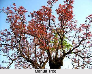 mahua indian medicinal plants
