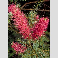 1000+ Images About Winter Flowering Australian Natives On