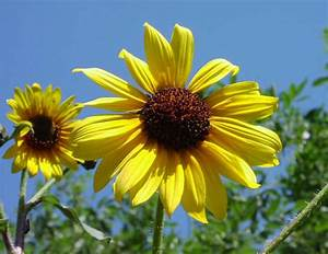 Helianthus annuus (Common sunflower)