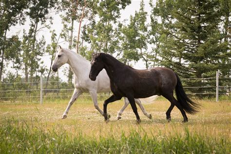 dressage horse andalusian spanish alberta highland classical calgary foothills stables instruction rocky provides mountains canadian located training west