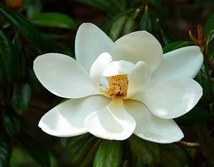 Fleur De Magnolia : images de fleurs blanches gratuites ~ Melissatoandfro.com Idées de Décoration