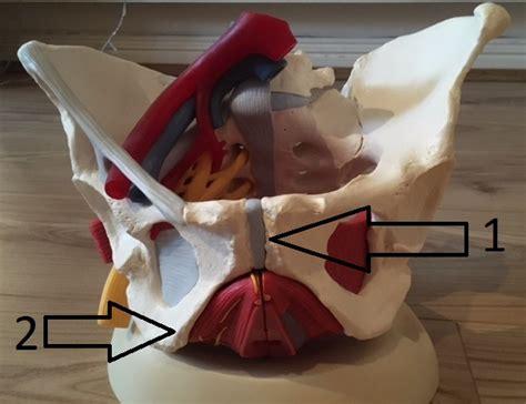 pelvis pelvic floor anatomy my french physio
