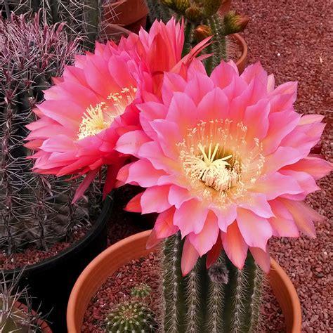 Cactus Flower Weekend - Cactus Jungle