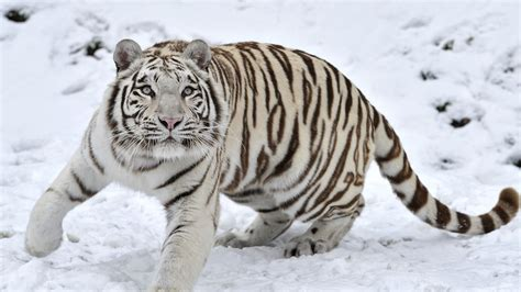 Detroit Tiger Wallpaper For Android Winter Tiger Hd Wallpaper 19613 Baltana
