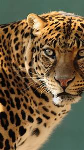 Wallpaper Jaguar  Wild  Cat  Face  Animals  10237