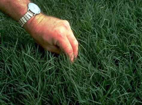 tentang rumput golf rumput bermuda bibitbunga