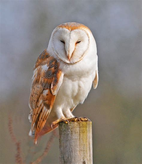 barn owl facts barn owls habitat