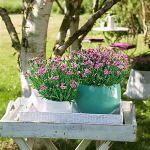 Blumen Winterhart Mehrjährig : prinzess nelke pink kisses von g rtner p tschke ~ Whattoseeinmadrid.com Haus und Dekorationen