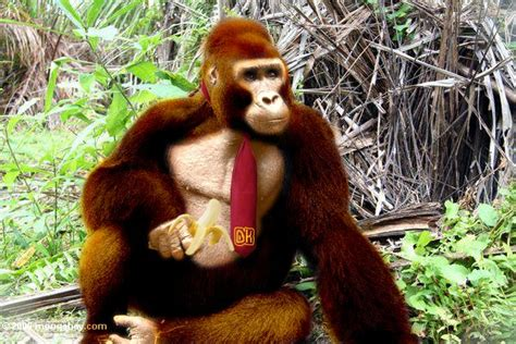 Donkey Kong In Real Life By Phyreburnz On Deviantart