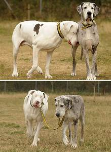 People Are Posting Hilarious Photos Of Their Great Danes ...
