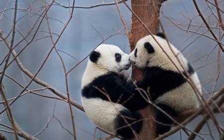 kissing pandas bears animals background wallpapers