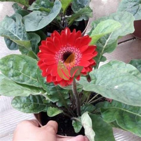 jual bibit bunga gerbera merah agro bibit id