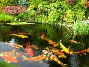 koi fish pond fish ponds here s a gorgeous koi fish pond wit