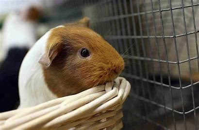 Guinea Pigs Pets Pig Inflated Lonely Fleas