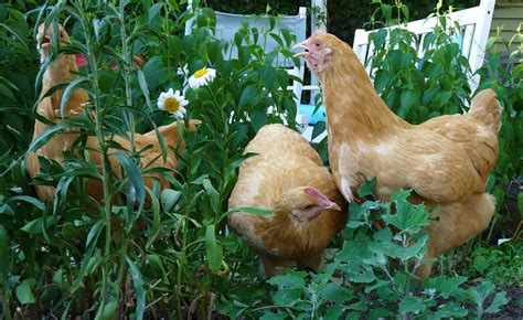 ferndale chickens