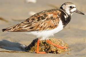 Ruddy Turnstone - Arenaria interpres - Shorebirds