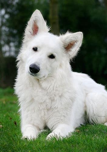 bialy owczarek szwajcarski na byl sobie pies zszywkapl