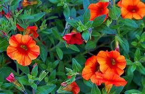 Balkonpflanzen Sonnig Pflegeleicht : balkonpflanzen h ngend pflegeleicht balkonblumen balkonpflanzen richtig berwintern ~ Frokenaadalensverden.com Haus und Dekorationen