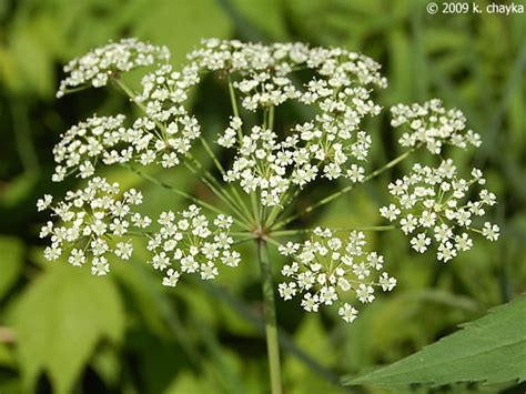 see larger cicuta maculata water hemlock minnesota wildflowers