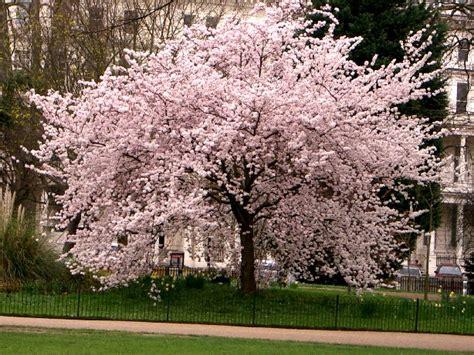 blossoming cherry trees blackpinky i want to be japanese cherry blossom tree