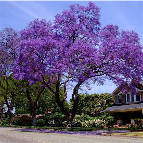 jacaranda tree australian seed jacaranda mimosifolia