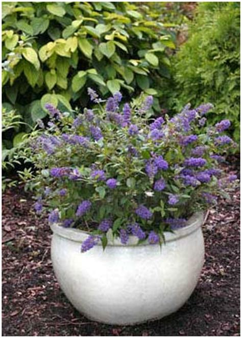 Container Gardening With Perennials