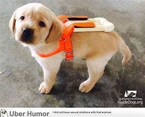 Guide dog puppy in training wearing his specially made ...