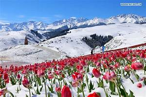 Tulips blooming in snow at Jiangbulake scenery spot in NW ...