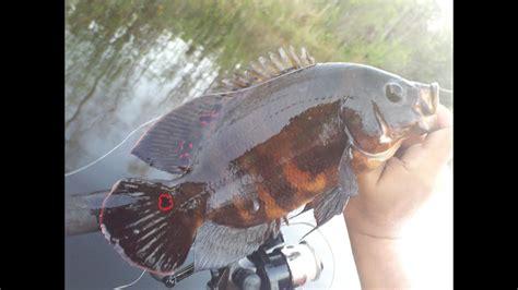 oscar fish fishing masters lizard