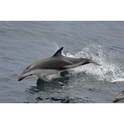 Picture 7 of 8 - Dusky Dolphin (Lagenorhynchus Obscurus