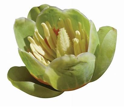 Tulip Poplar Flower Tree Louisiana Arboretum