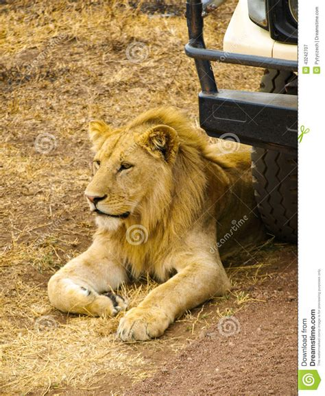 lion car lion at the car stock image image of african kruger