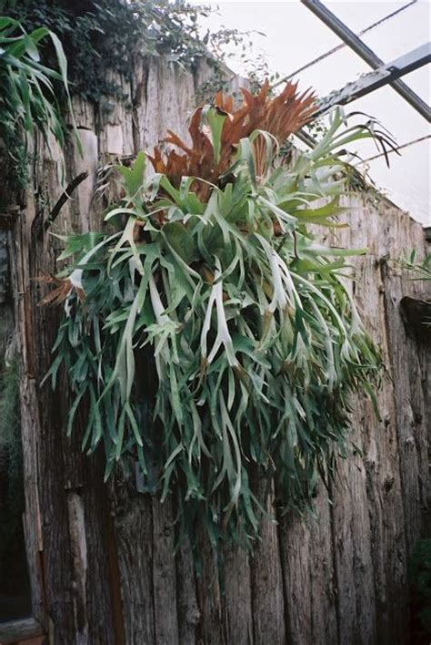 how to plant a staghorn fern in a hanging basket staghorn fern staghorn ferns pinterest