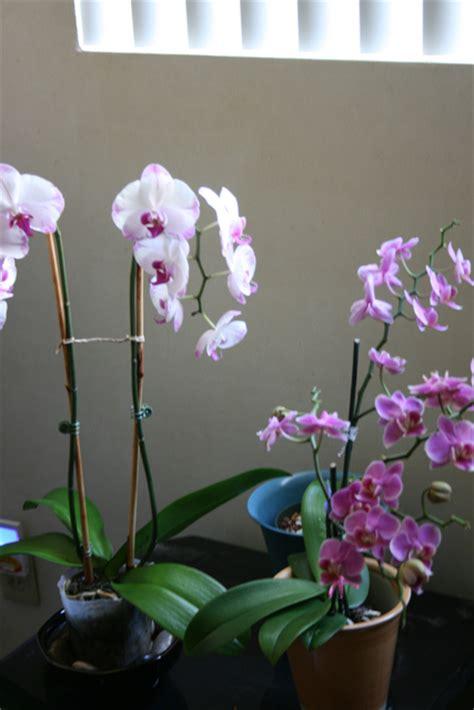 transplanting phalaenopsis orchids lights for growing phalaenopsis orchids
