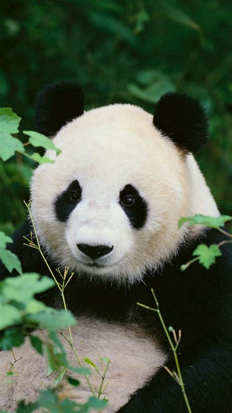 panda iphone wallpaper  images
