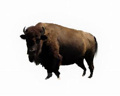 Bison Transparent Buffalo Clip Clipart Water Web