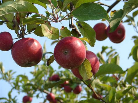 Best Apple Picking Near NYC: Apple Farms & Orchards to ...