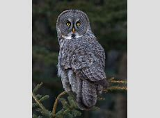Great Gray Owl BirdWatching