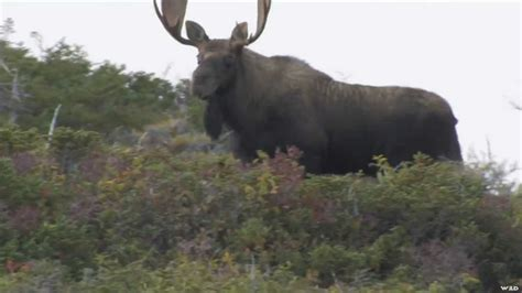 Girl Hunting Giant Moose In Newfoundland You