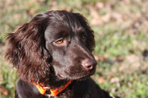 Do Boykin Spaniel Dogs Shed by Find Out If Your State Has An Official Barkpost