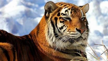 Tiger Amur Siberian Wallpapers Sleepy Desktop 4k