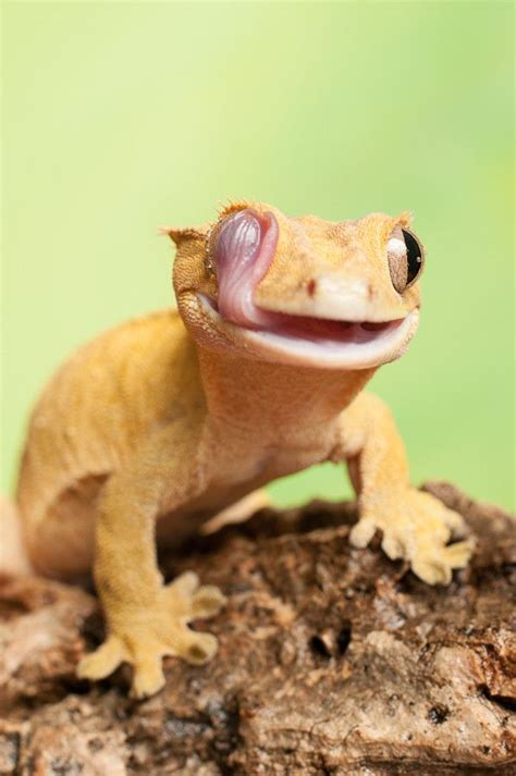 Crested Gecko Shed Stuck On Eye by Best 25 Crested Gecko Ideas On Geckos